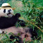 Sorpresa por hallazgo de oso panda en La Tebaida, se le habría escapado a narco