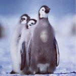 Aparece cara de Diomedes Diaz en pecho de pingüino