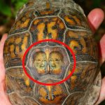 "Imagen de ""Doña Tera"" apareció en tortuga morrocoyo dos días antes del reinado"