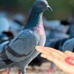 Condones para palomas en Bogotá resultaron de talla equivocada